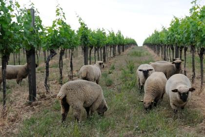 Weingartenbeweidung
